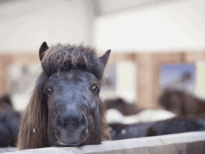 A dark brown Icelandic horse.